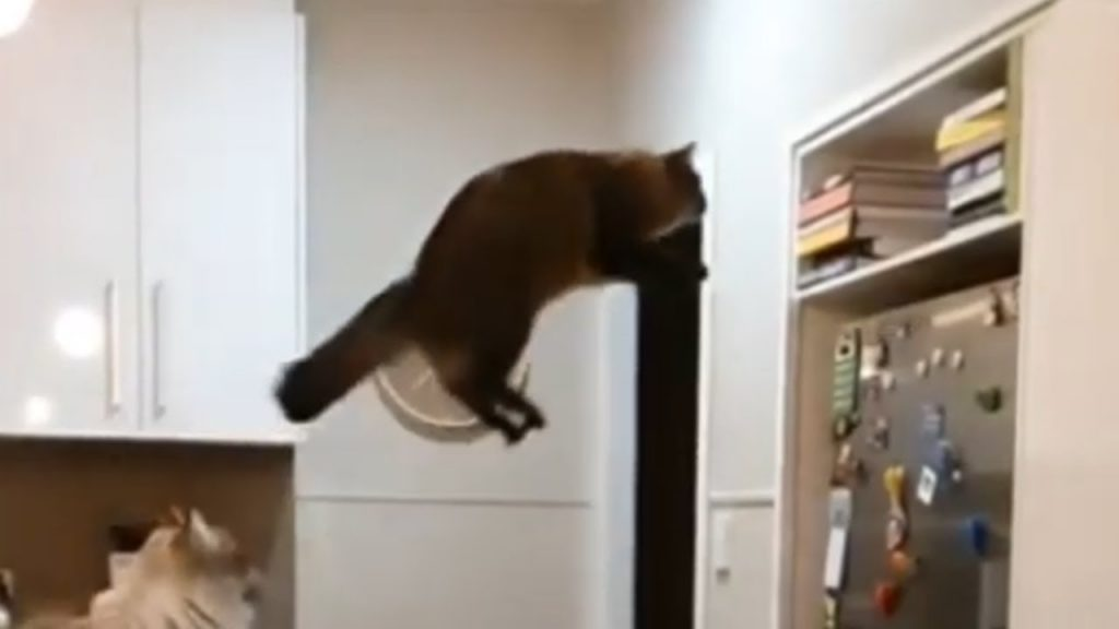 Straight-up acrobat cat jumps to incredible heights