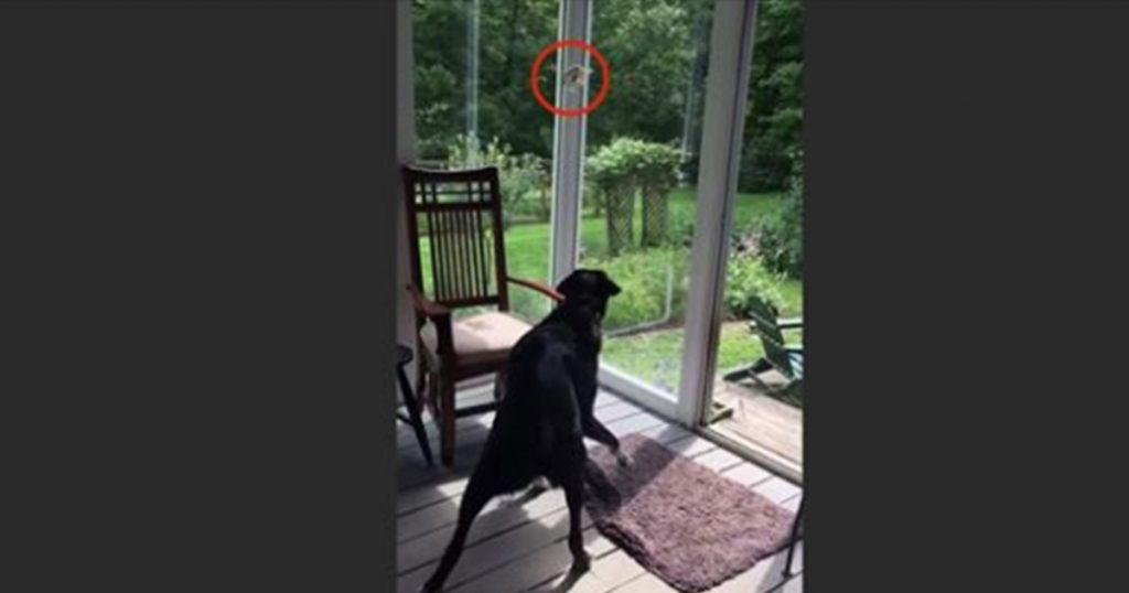 Dog Sees Bird Trapped On The Porch, Gently Catches And Releases It