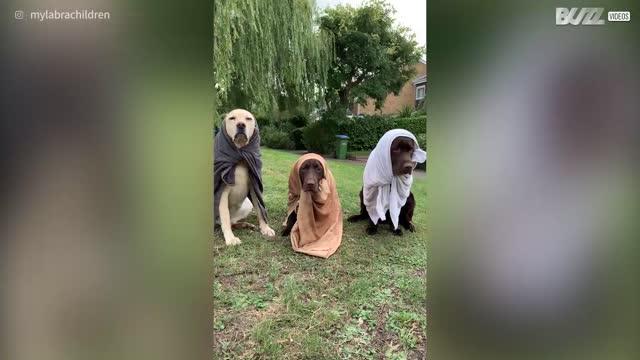 Labradors dress like three authentic babushkas
