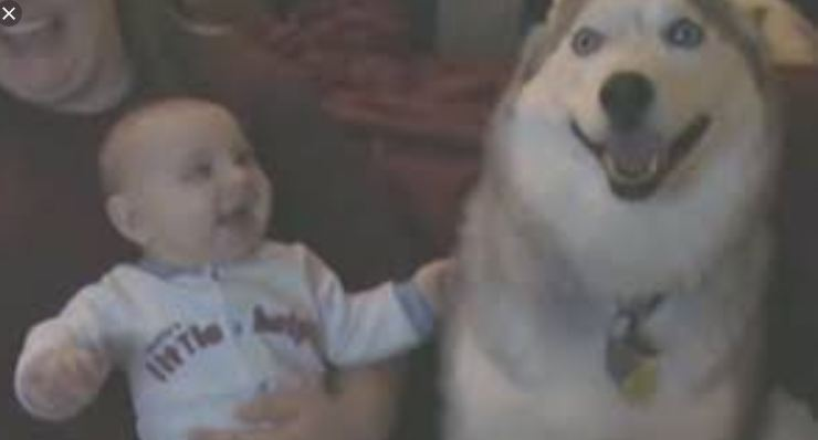 Sweet Siberian Husky Makes Baby Laugh