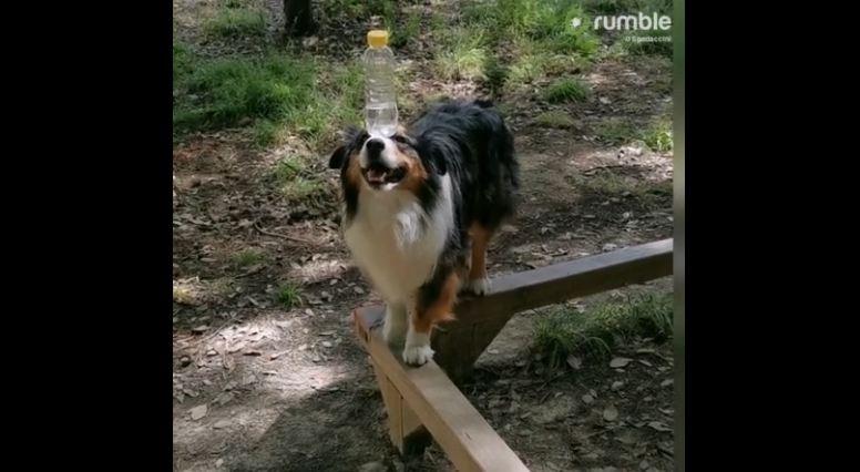 Dog Balances Water Bottle While Walking On 90° Curve