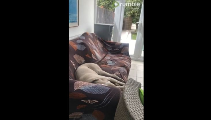 Dreaming dog wags tail during nap