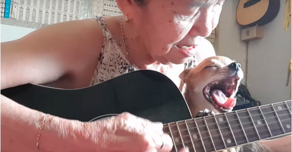 Sleepy Chihuahua Steals The Show During Owner's Soothing Guitar Melody.
