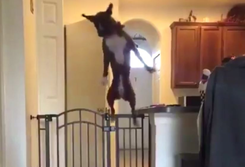 New Doggy Gate Serves No Purpose For A Dog With This Athleticism
