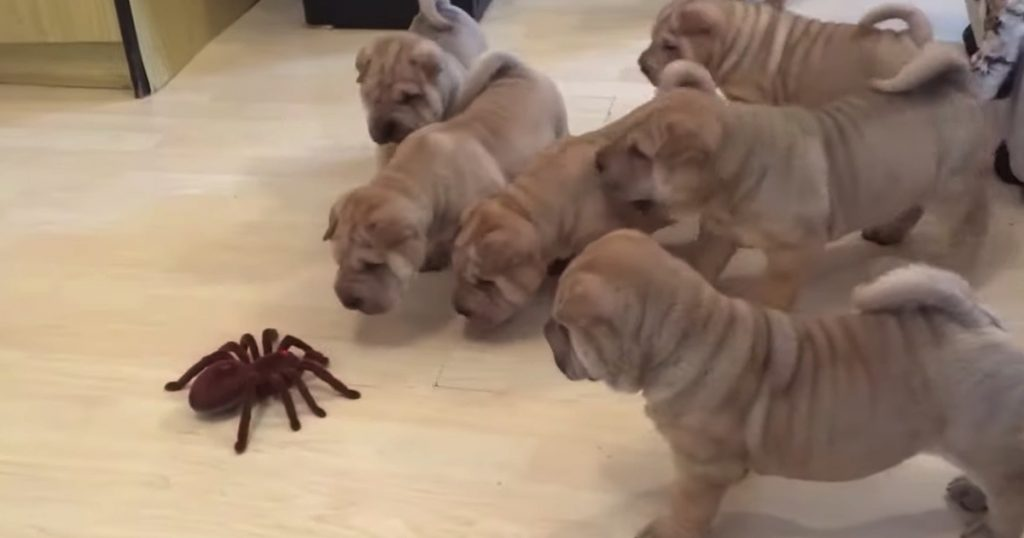 Shar Pei Puppies Team Up To Check Out And Take On Fake Spider