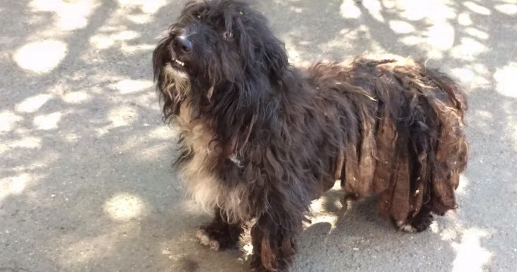 Dog Found Covered In Dreadlocks And Fleas Also Had A Rope Around His Neck