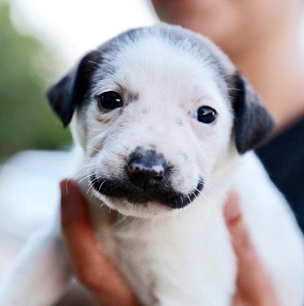 Rescue Puppy With Handlebar Mustache In Need Of A Forever Home