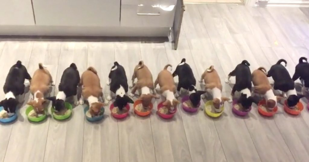 14 Basenji Puppies Are Called To Dinner And Eat Together In Unison