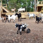 Woman Quits Her Six-Figure Job And Gives Up Everything To Raise Baby Goats With Special Needs