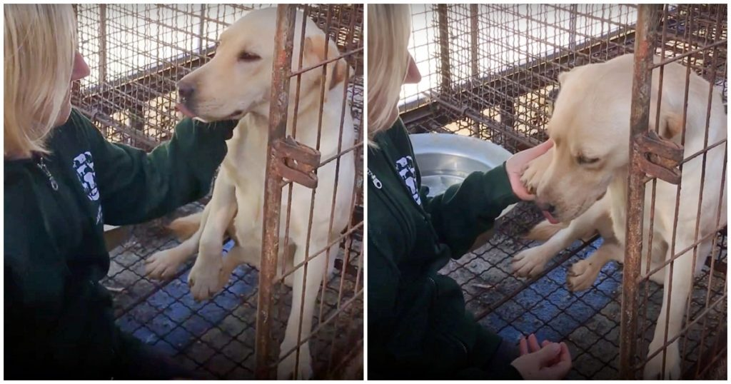 Dog Moments Away From Slaughter At A Meat Farm, Gently Lifts Her Paw To Thank Her Rescuer