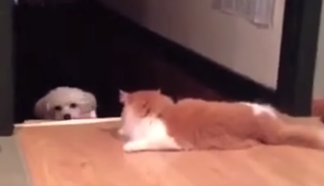 Bossy Cats Block Dogs From Passing Them In Hilarious Video Compilation