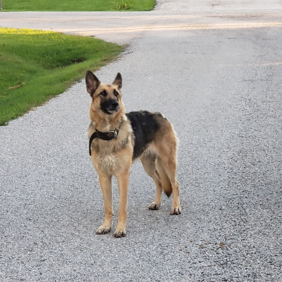 Abandoned German shepherd found in ditch with bag of food