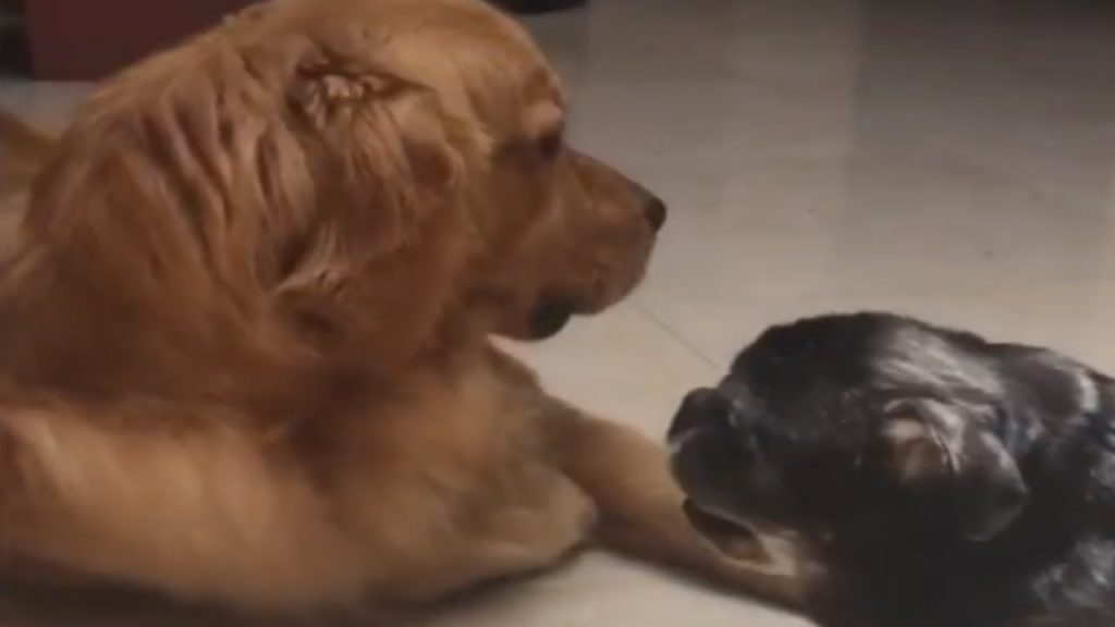 Gentle and Loving Puppy Dotes On Blind Senior Dog