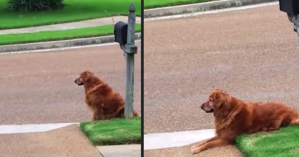 Patient And Committed Golden Retriever Waits For The Mail Every Day