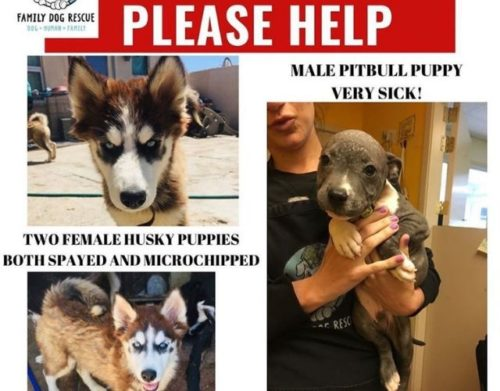 The Last Of Three Stolen Puppies Is Finally Found And Returned To Rescue