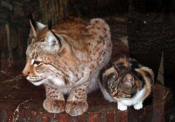 Kitten Breaks Into The Zoo And Befriends A European Lynx