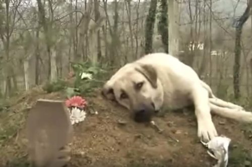 Heartbroken Pup Regularly Visits His Dad's Grave