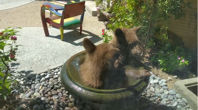 Family Wakes Up To Find Bear Cubs Splashing Around In The Bird Bath