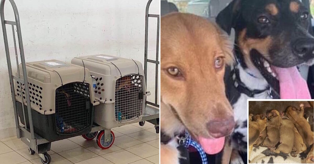 Couple Brings 2 Homeless Dogs Back From Caribbean — Who Then Give Birth To 17 Puppies