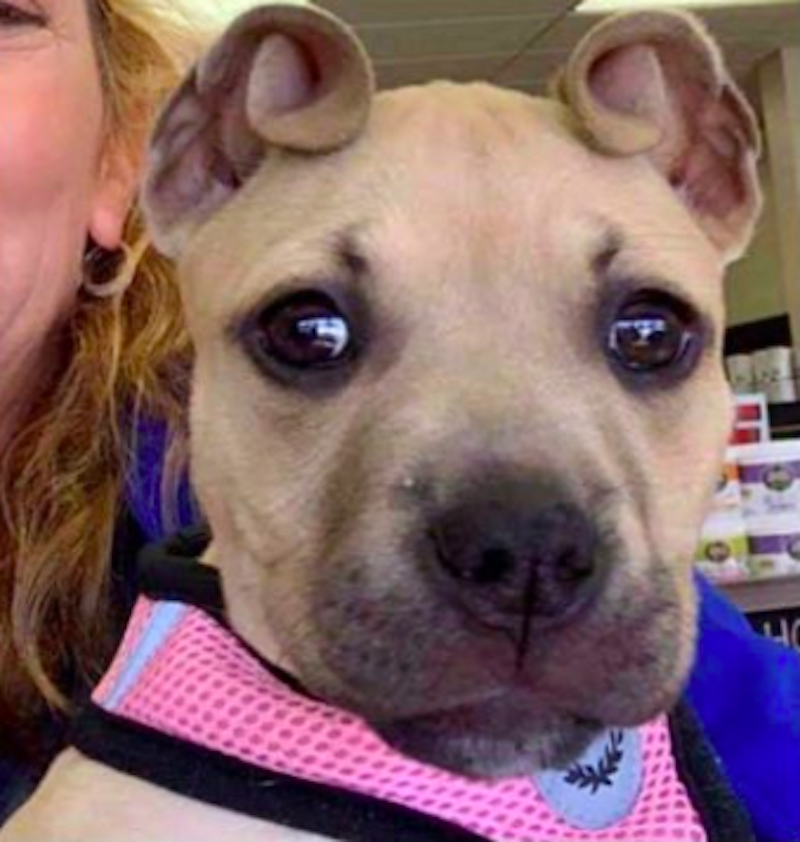 Rescue Puppy Has Ears That Resemble Cinnamon Rolls