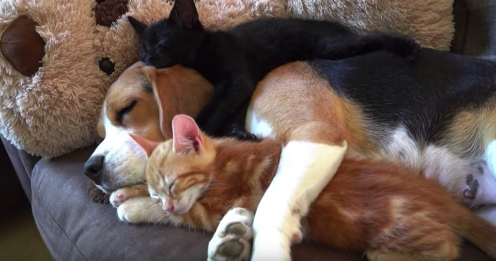 Beagle Never Birthed Any Pups, But She Nurses Kittens That She Took In