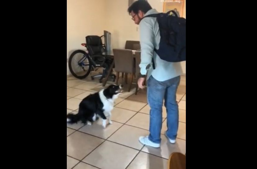 Dog can't contain excitement upon owner's return home