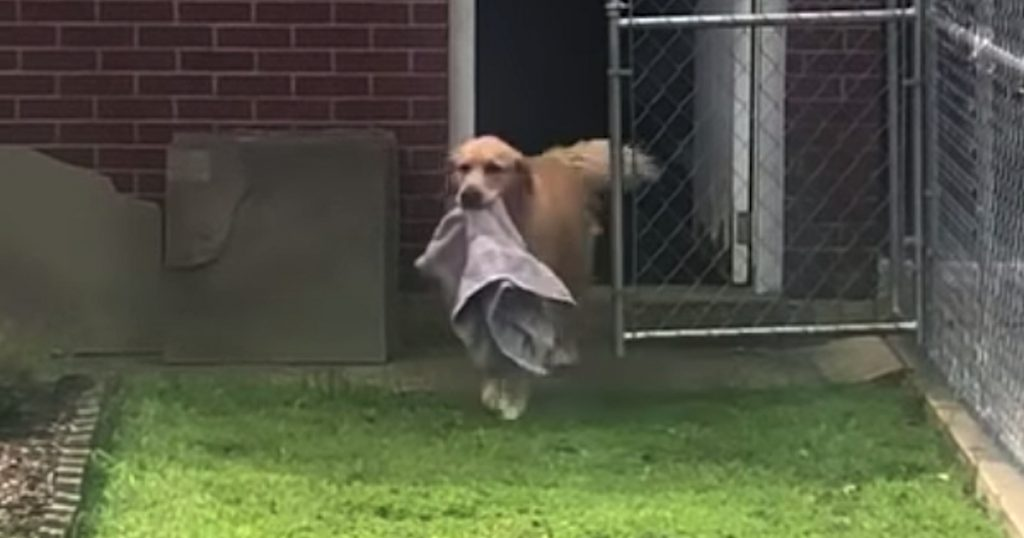 Dog Retrieves His Own Towel After Bath For Owner To Dry Him Off