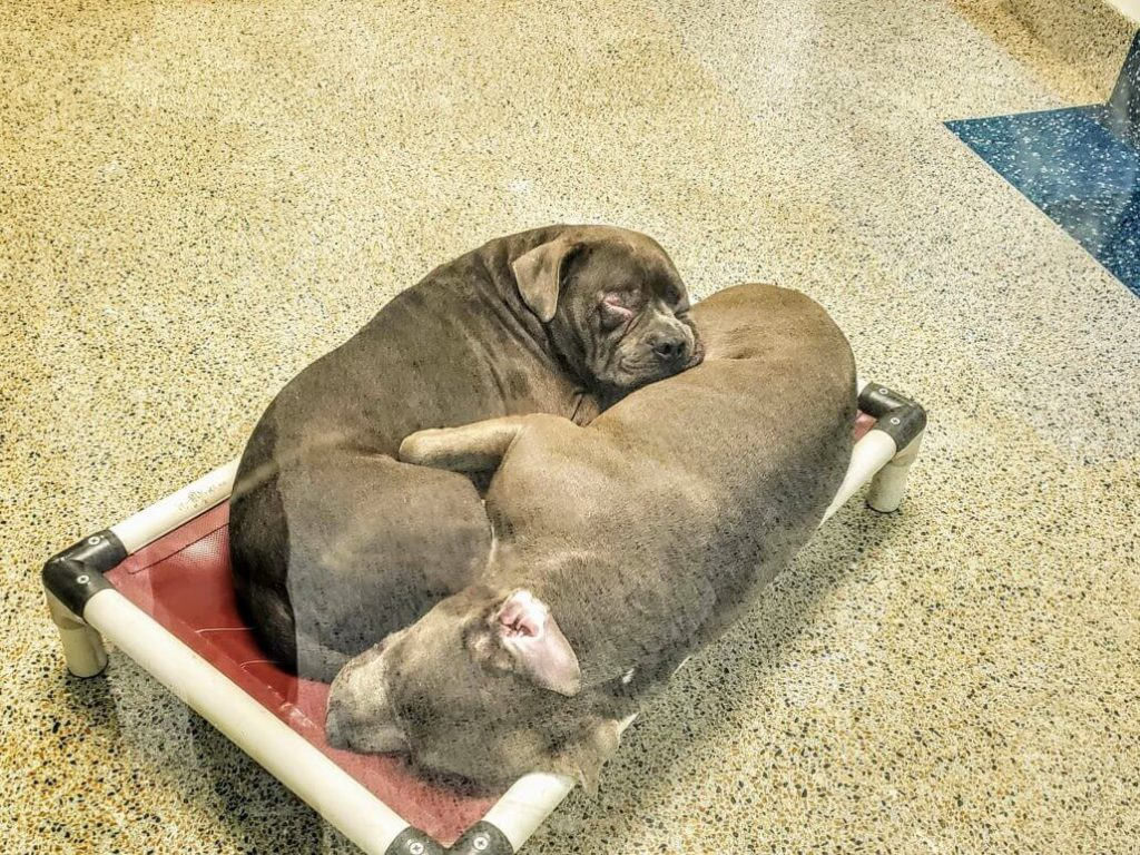 Bonded dogs sleep together at night dreaming of a home