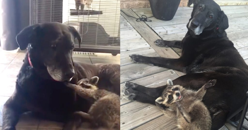 Senior Dog Becomes Surrogate Mom To An Orphaned Raccoon