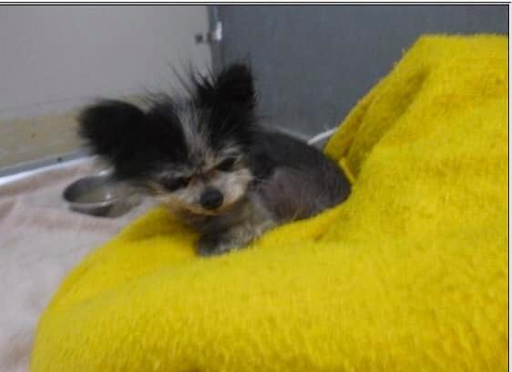Lost 20-year-old Pomeranian winds up at California shelter