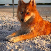 This Is Mya The Pomsky, The Girl Dog Who Resembles A Fox