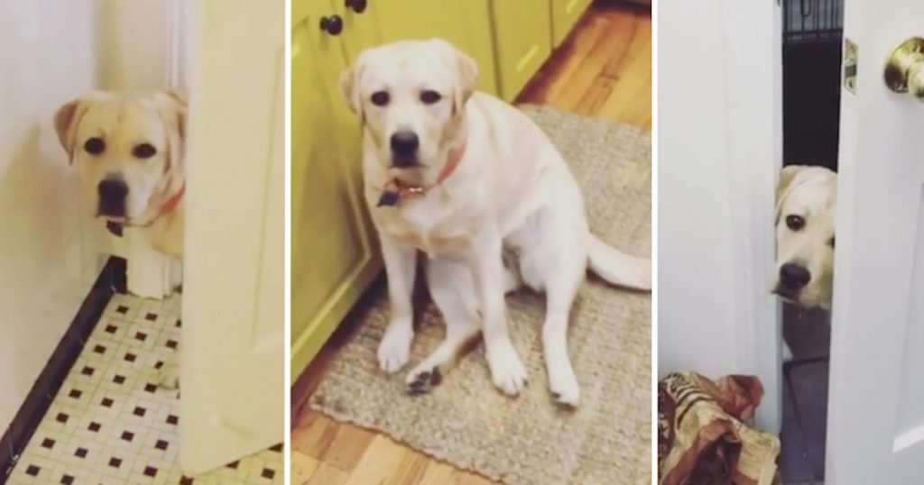 Peanut The Labrador Follows Mom Around The House, Stalking Her Every Move