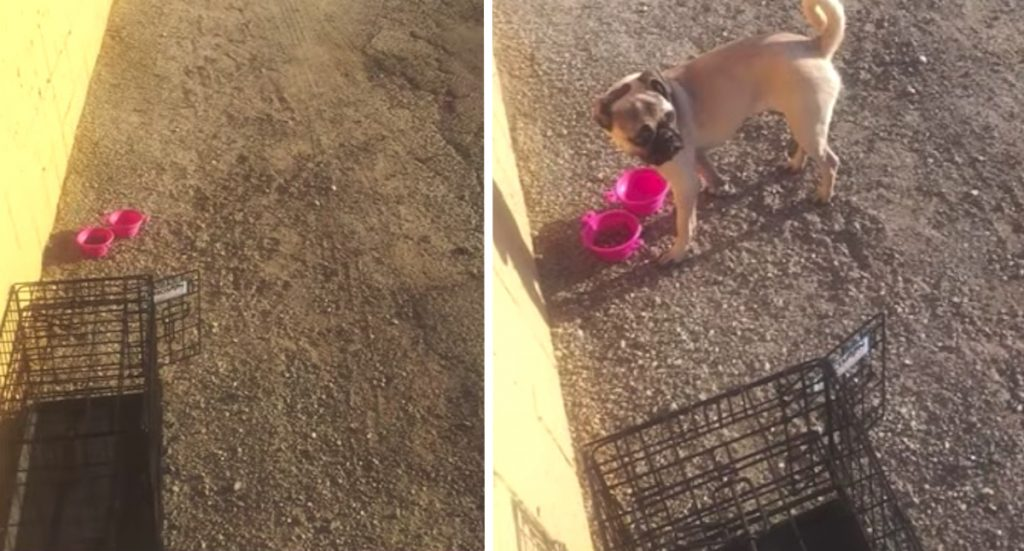 Friendly Pug Put In A Crate And Abandoned In An Alley