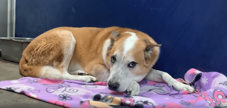 Senior dog devastated – family gave him up because of baby