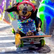 Meet Rowdy: The Adorable Miniature Dachshund Who Loves Skateboarding