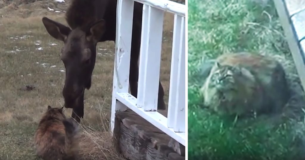 Cat And Moose Have Daily Routine Of Running Out To Meet Each Other