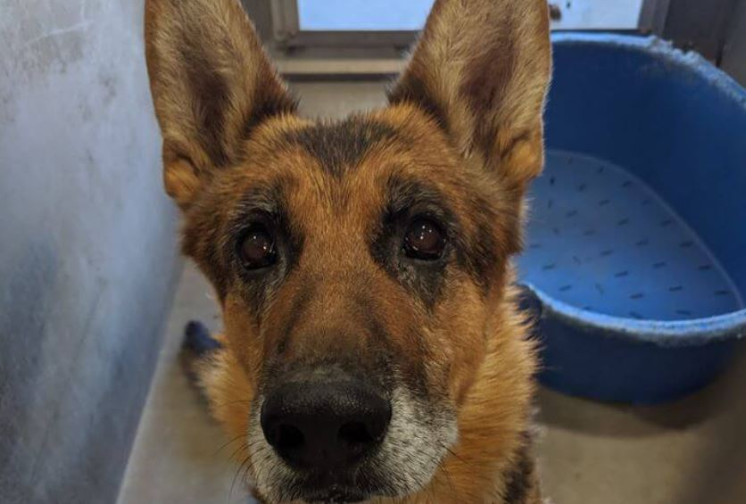 Handsome, gray-faced senior shepherd…too old to be loved?
