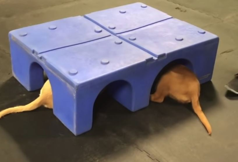 Adorable Golden Retriever Puppies Caught Touching Paws in Secret