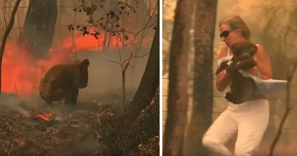 Woman Uses The Shirt Off Her Back To Help Injured Koala In Brush Fire
