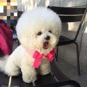 Tori The Bichon Frisé Gets Haircuts That Resemble A Cotton Ball