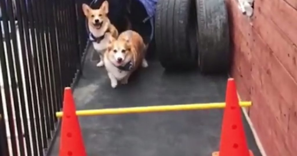 An Obstacle Course And Difference Between The Two Types Of Dogs In The World