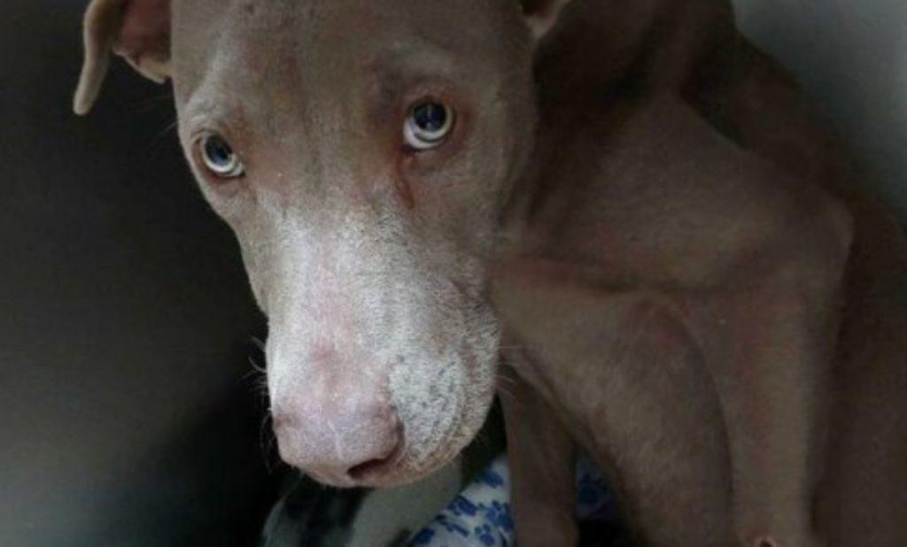 Update on Weimaraner left at shelter struggling for days to walk