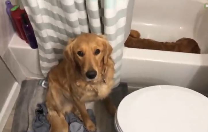 Dog Jumps Into Owner's Bath While Water Fills Up