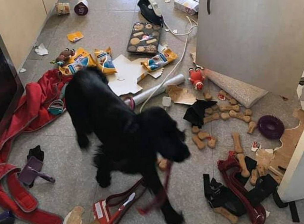 Naughty puppy destroyed family's kitchen while they were shopping