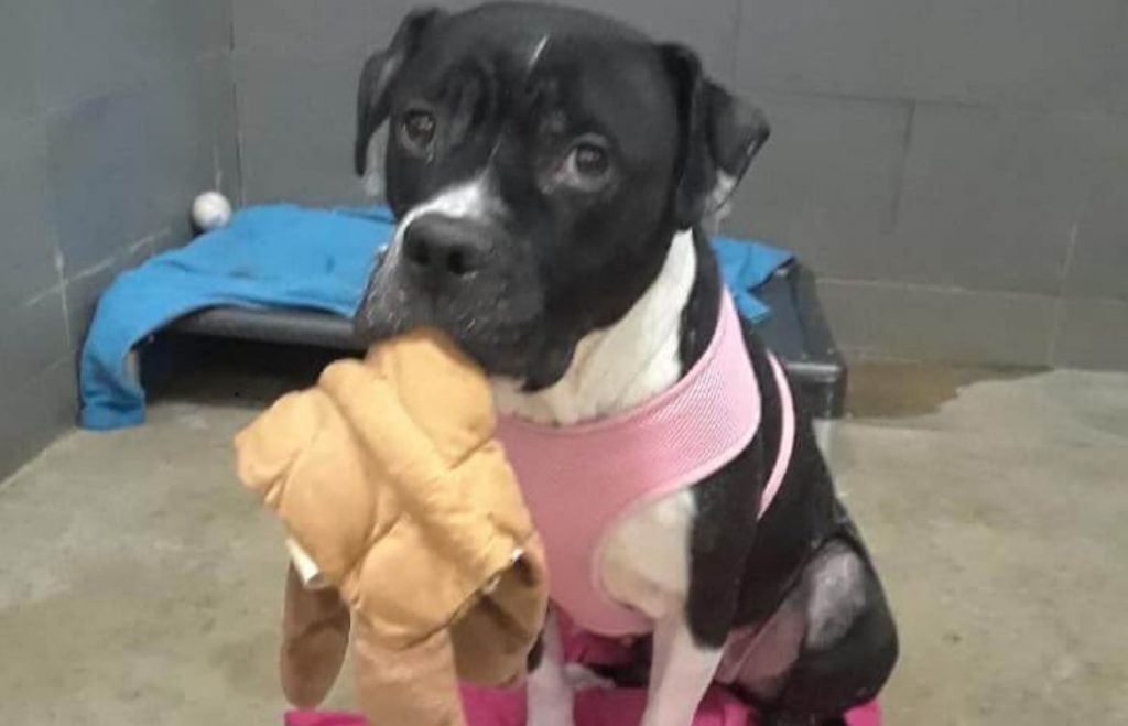 Homeless dog patiently waits with stuffie, hoping to be noticed at shelter