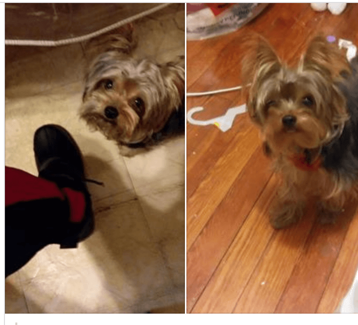 Missed deadline: Woman's 7-year-old Yorkie adopted out to someone else