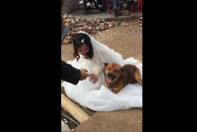 Dog Really Loves the Wedding Dress