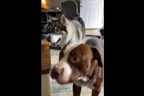 Husky throws tantrum over wearing goggles