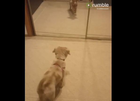 Aussie puppy barks at mirror reflection