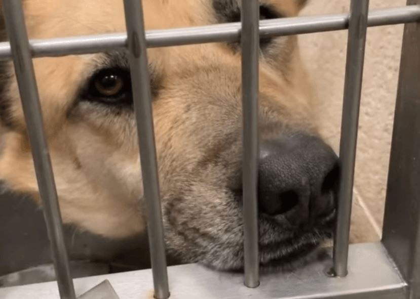 Last call: Shepherd shook in fear at impound and no one has come to help